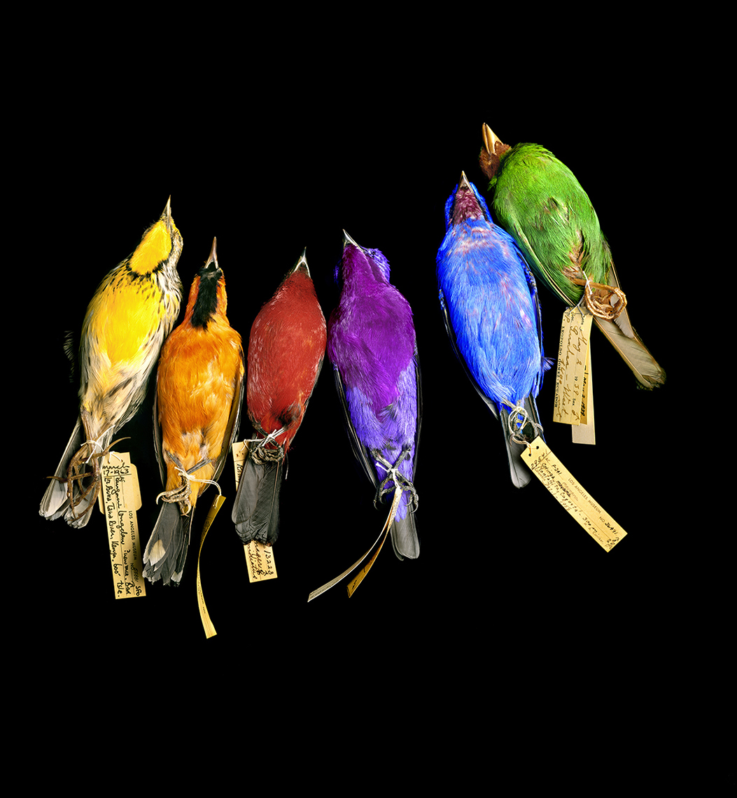 Colored songbirds