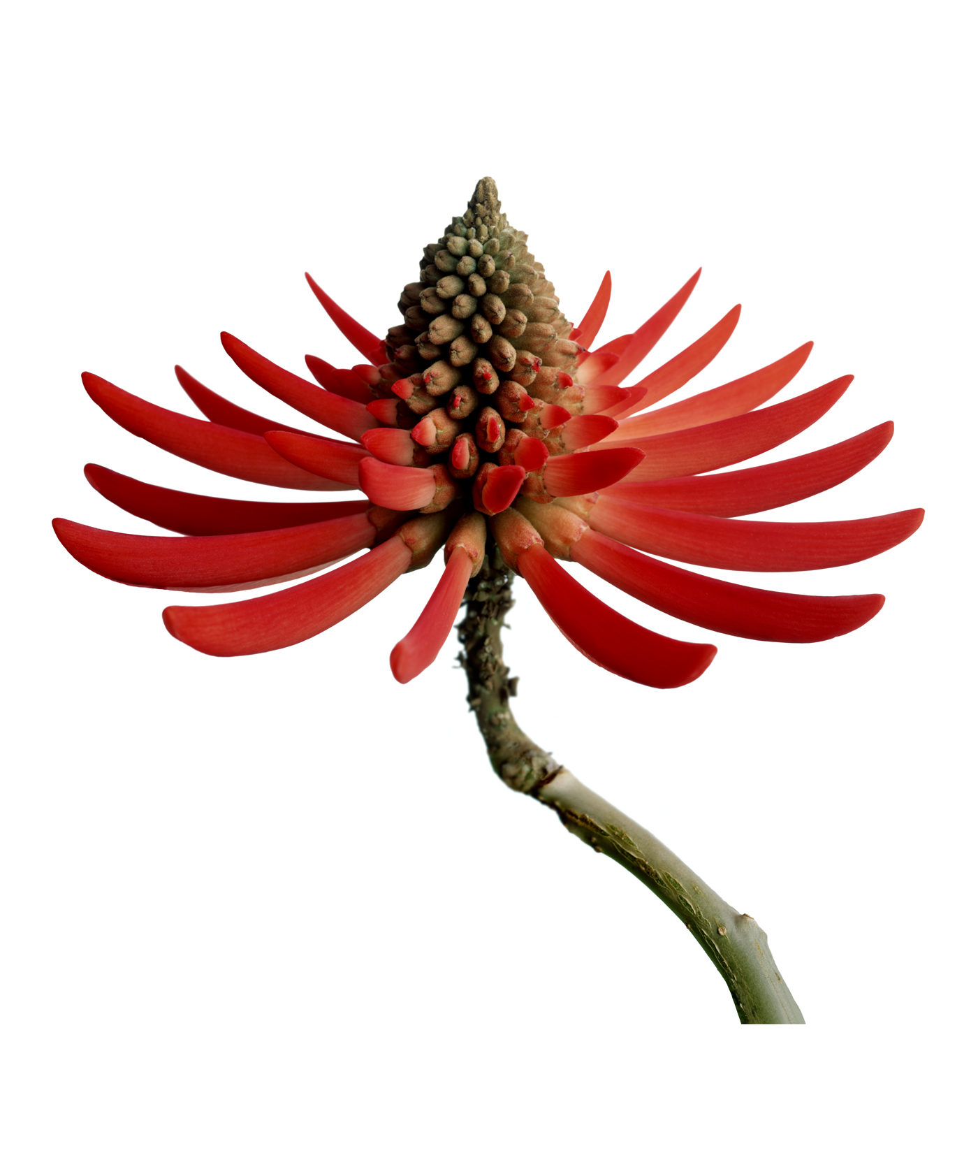 Coral Tree Flower copy