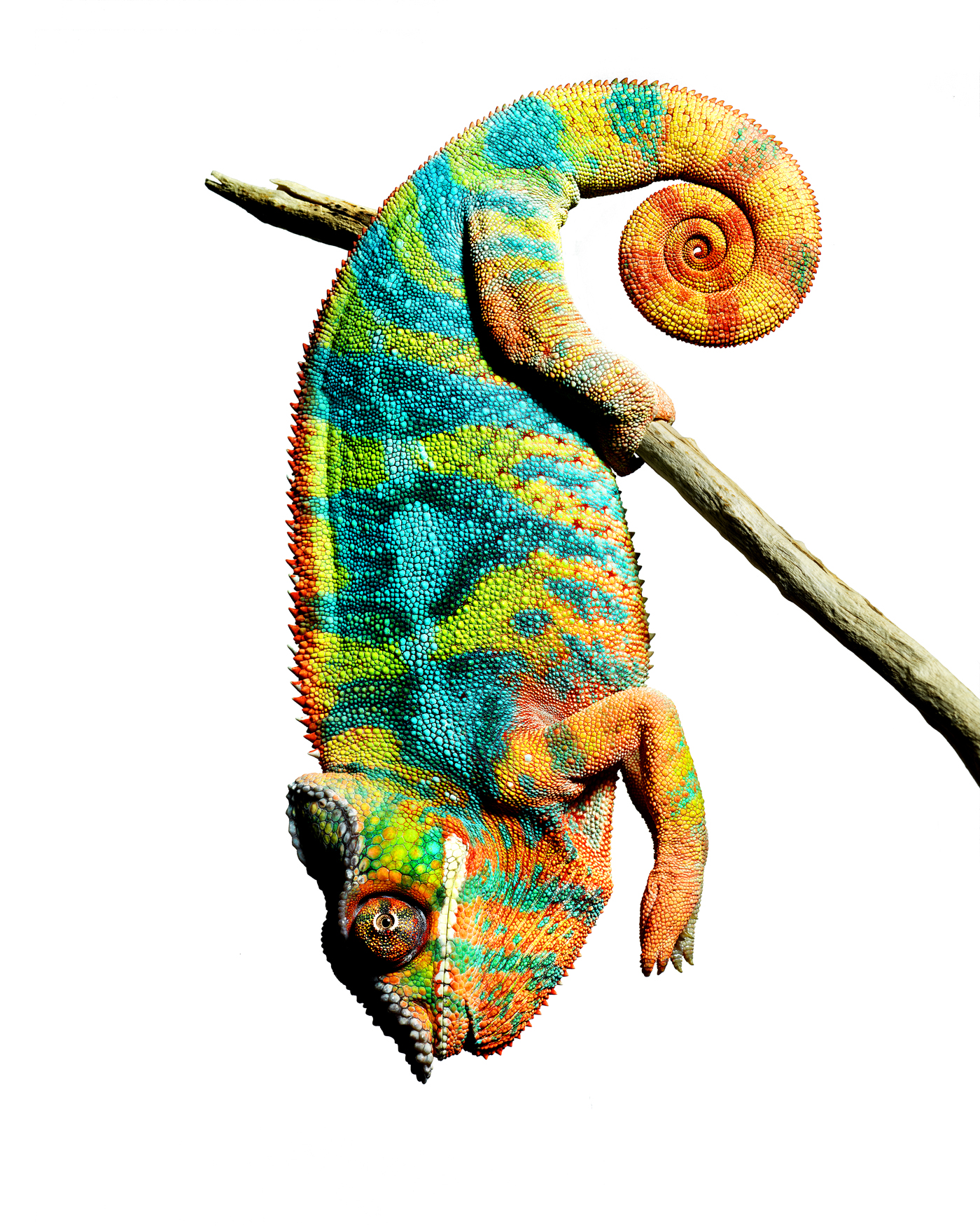 Panther chameleon hanging copy