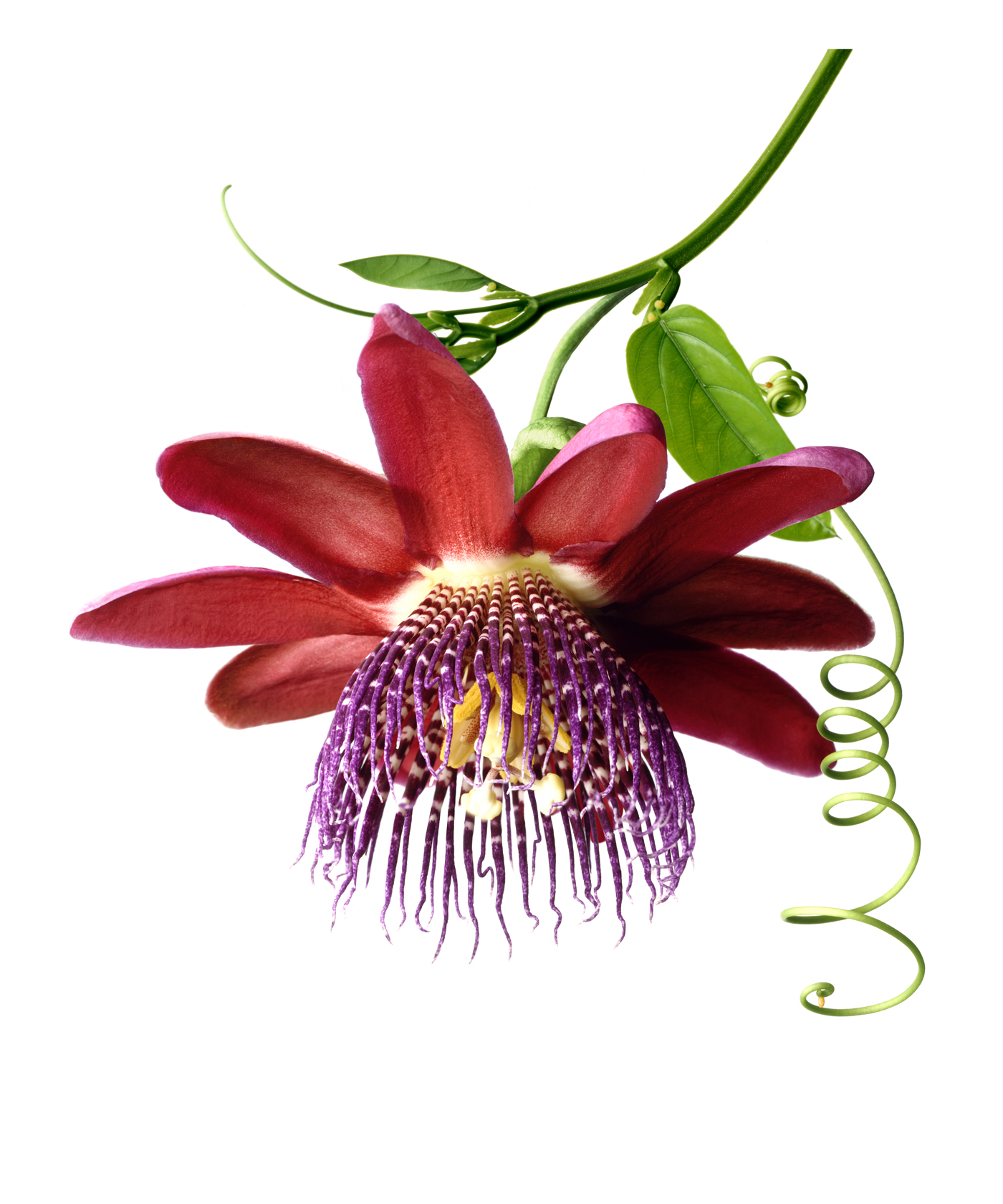 Passiflora Quadrangularis copy