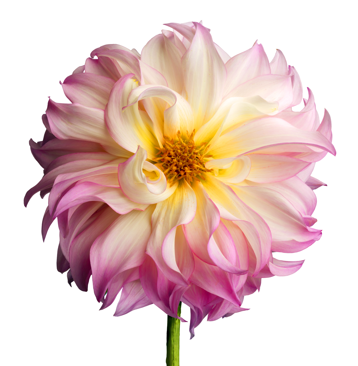 Pink and White dahlia copy 2