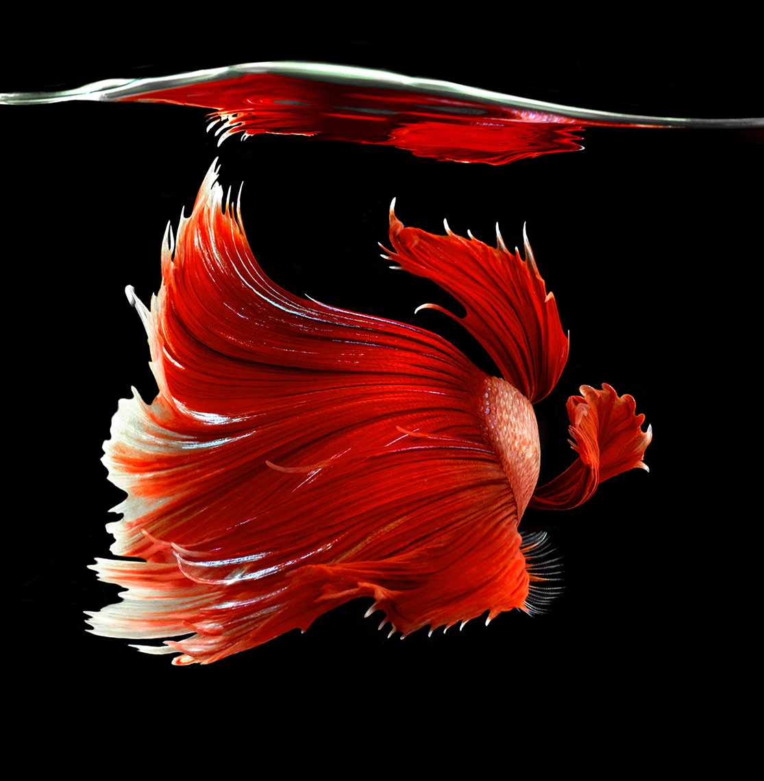 Red Fighting Fish back copy