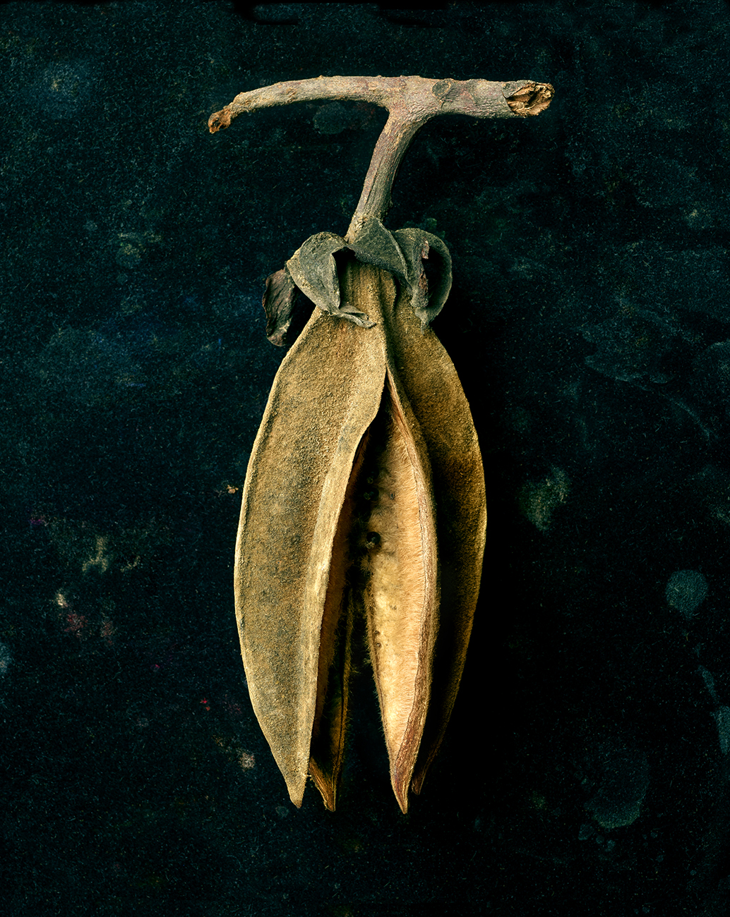 Seed Pod hanging copy