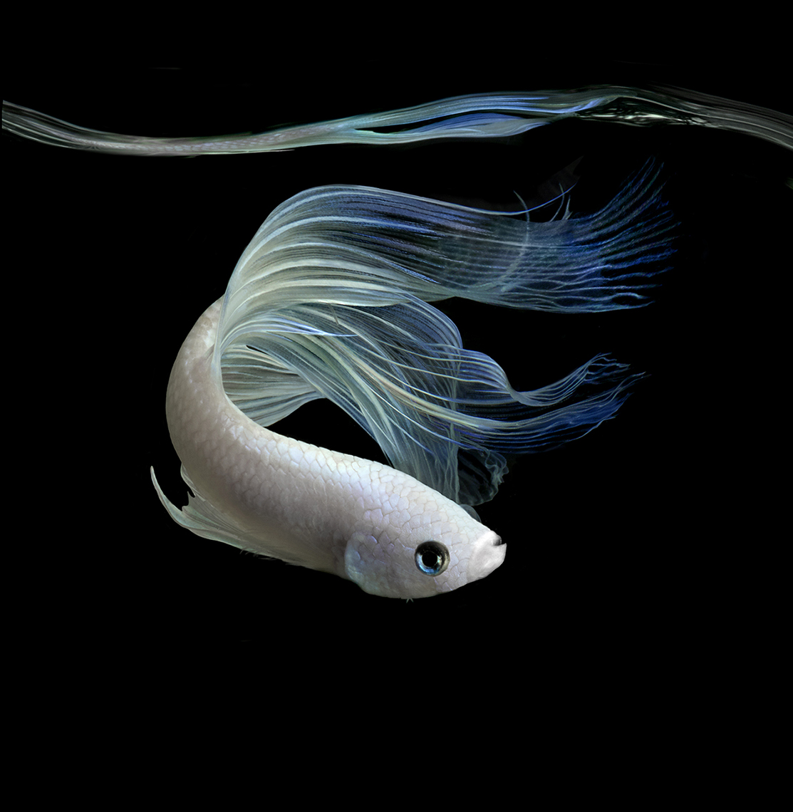 White Fighting Fish copy