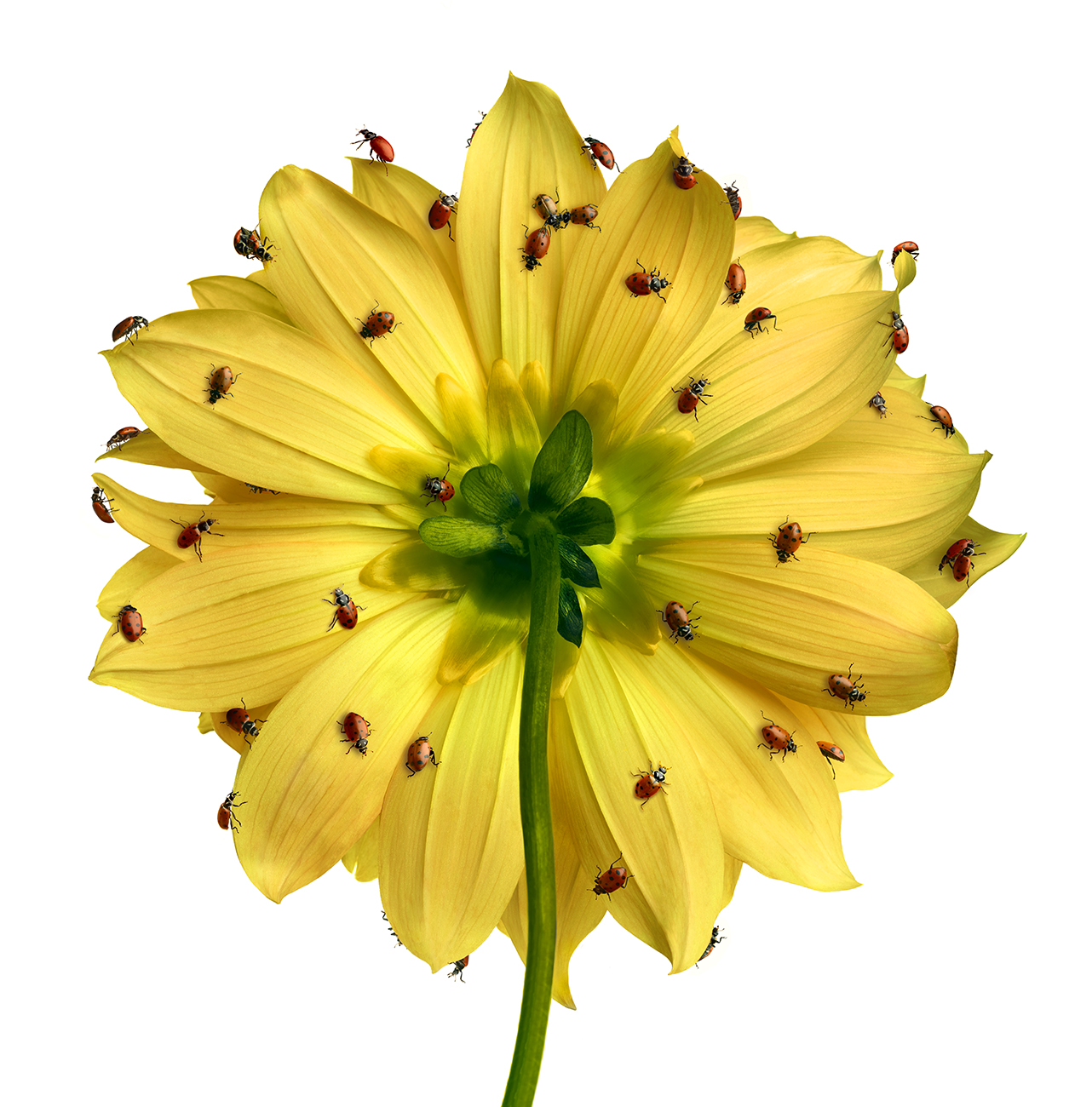 Yellow Dahlia w ladybugs copy