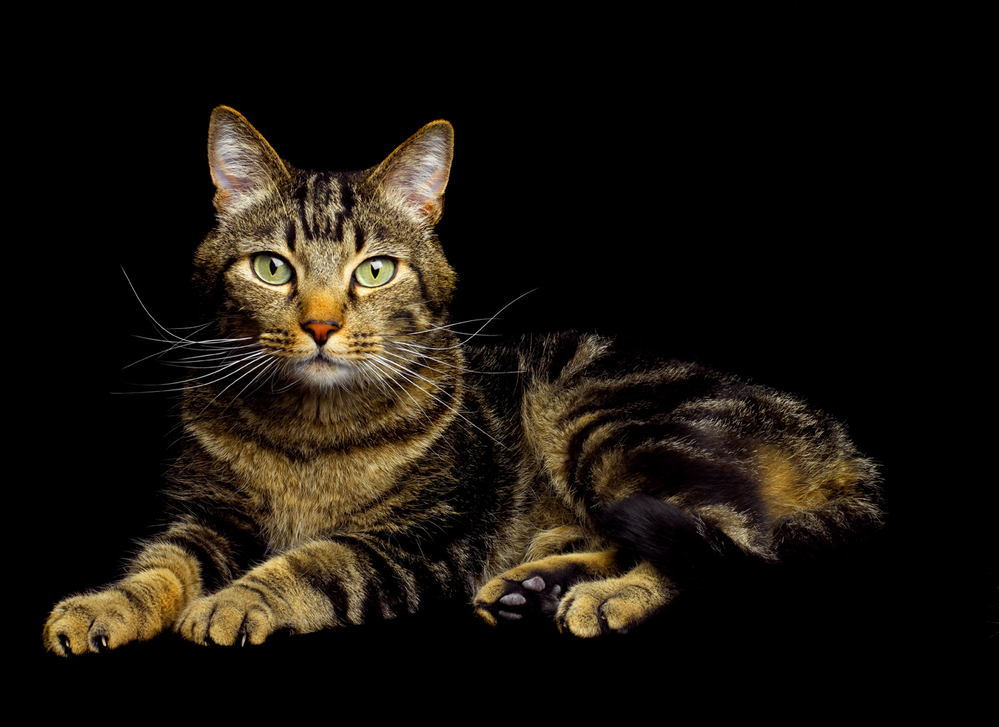 striped brown cat copy