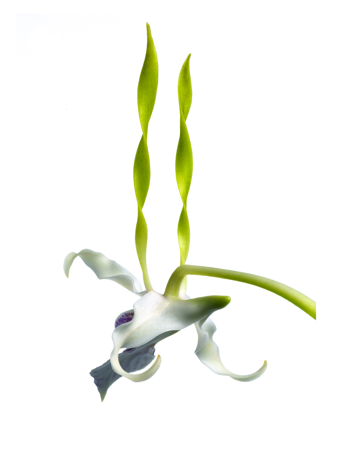 twist orchid copy
